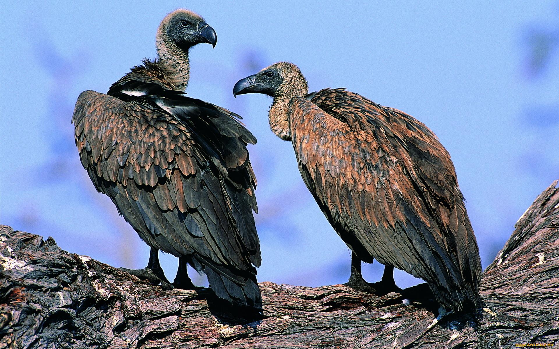 Грифы птицы их разновидности фотографии